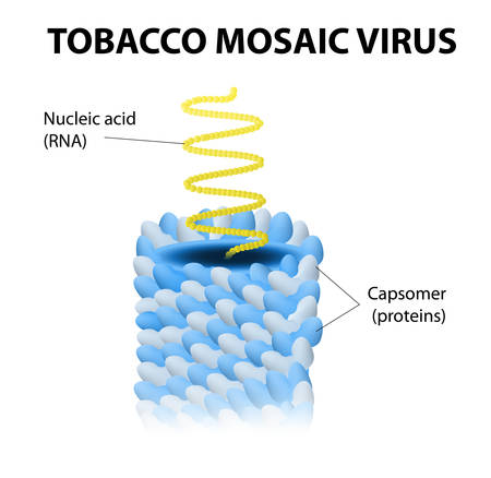 harmless: Schematic model of tobacco mosaic virus Illustration