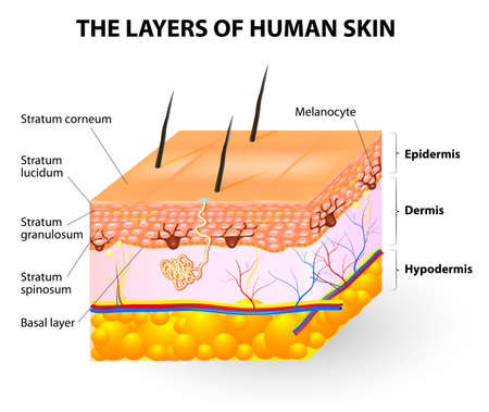 dermatology: Melanocyte and melanin  layers of epidermis Illustration