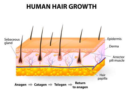 depilacion: Folículo piloso ciclo anágeno; catágena y telógena Vectores
