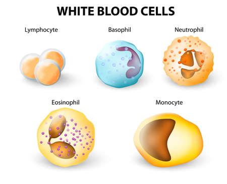 globulos blancos: Los tipos de glóbulos blancos Vectores