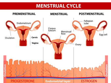 hormonen: Menstruele cyclus. Menstruatie, Follikel fase, ovulatie en Corpus luteum fase. Vector diagram Stock Illustratie