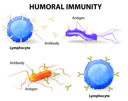 humoral immunity. Lymphocyte, antibody and antigen. Vector diagram
