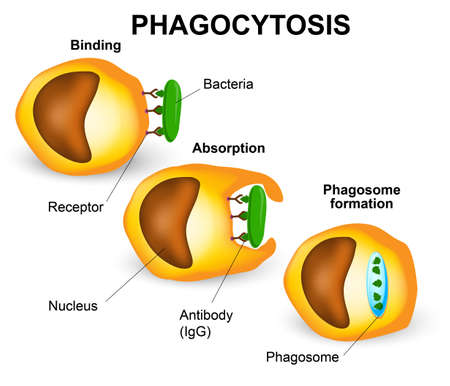 Phagocytosis in three steps. Human immune system Vector