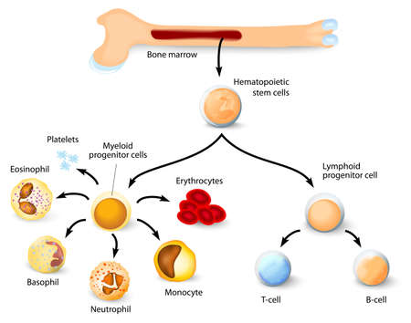 Blood cell formation from differentiation of hematopoietic stem cells in red bone marrow. Ilustração