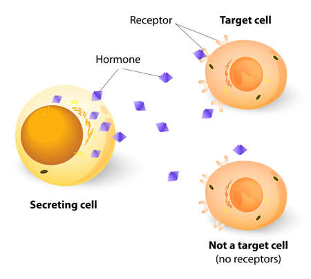 Hormones, receptors and target cells. each type of hormone is designed only certain cells. These cells will have receptors on them that are specific for a certain hormone. Vector
