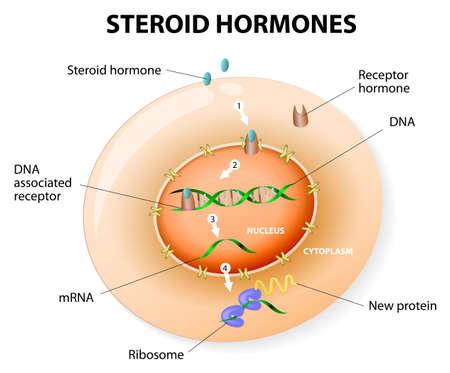 hormonas: Cómo esteroide trabajo hormonas respuesta. Los esteroides se unen a un receptor intracelular. Este complejo activa la transcripción de genes, causa una proteína a ser fabricado. Diagrama vectorial