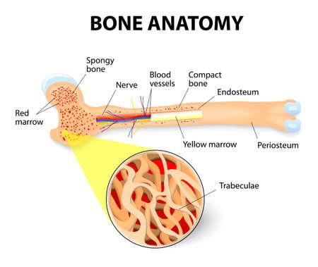 osteoporosis: anatomía del hueso largo. El periostio, endostio, médula ósea y trabéculas.