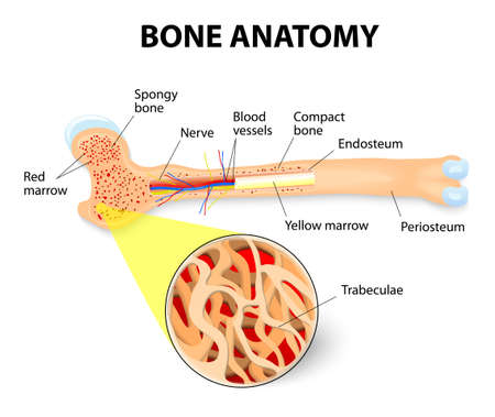 bone anatomy: anatomy of the Long Bone. Periosteum, endosteum, bone marrow and trabeculae. Illustration