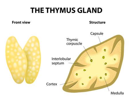 hormonas: Estructura timo Vector diagrama glándula se encuentra en la cavidad torácica, justo encima del corazón Secreta timosina