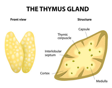 Thymus structure  Vector diagram  Gland lies in the thoracic cavity, just above the heart  It secretes thymosin  Vector