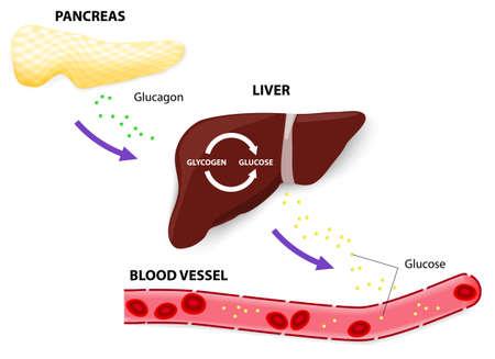 trzustka: Glukagon jest hormonem trzustki trzustki uwalnia glukagon, gdy poziom glukozy we krwi spadnie zbyt nisko glukagon wywołuje wątrobę do przekształcania glukozy w glikogen przechowywanych, który jest uwalniany do krwiobiegu Ilustracja
