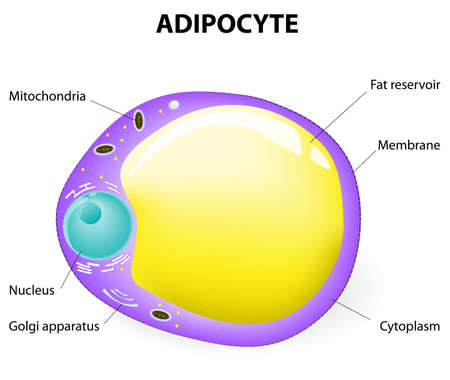 storage: fat cell. Adipocyte is responsible for accumulation energy,  obesity, weight gain and weight loss.  Illustration