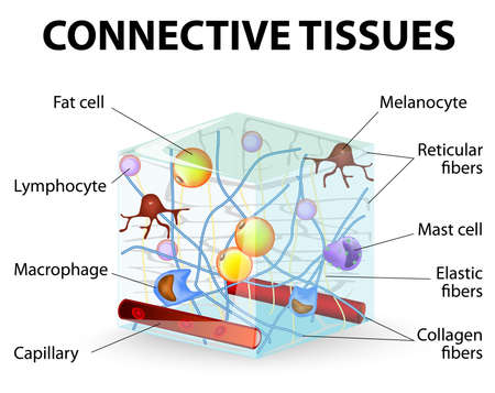 connective tissue that supports, binds, or separates more specialized tissues and organs of the body. Human anatomy