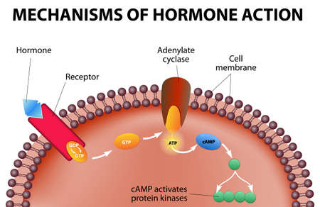 receptors: Hormones bind to receptors on the plasma membrane  Illustration