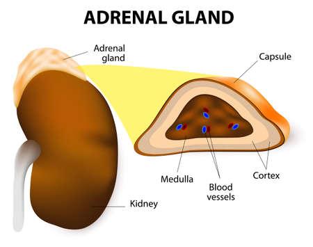 Les glandes surrénales se composent de deux parties de structures différentes, le cortex surrénal et la médullosurrénale. moelle sécrètent l'adrénaline et la noradrénaline. Banque d'images - 27904990