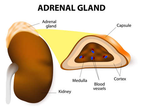 The adrenal glands consisting of two structurally  different parts, the adrenal cortex and adrenal medulla. medulla secrete epinephrine and norepinephrine. Vector