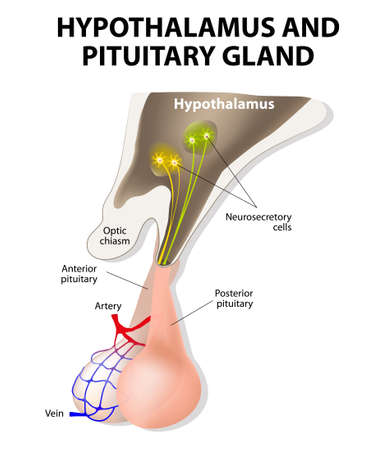 pituitary gland is connected to the hypothalamus via a stalk, the infundibulum, and consists of two lobes: the anterior pituitary, or adenohypophysis, and the posterior pituitary, or neurohypophysis. Vector
