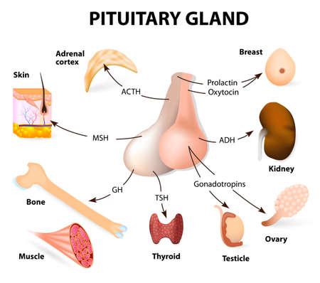 hormonen: hypofysehormoon functies. De twee lobben, voorste en achterste, fungeren als zelfstandige klieren.