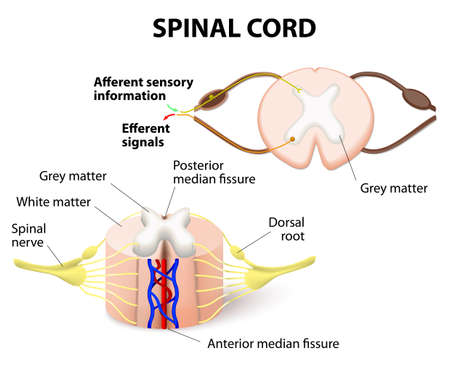 herniated: cross-section of spinal cord. Central nervous system Illustration