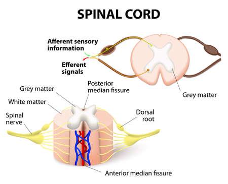 la sección transversal de la médula espinal. Sistema nervioso central