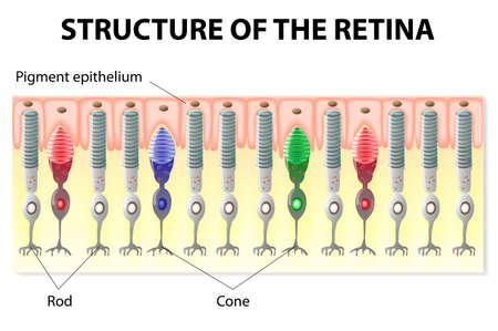 目とビジョン。網膜の構造。棒および円錐形。