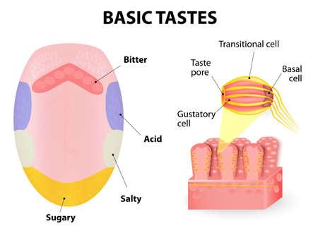 Langue humaine. Les récepteurs du goût de la langue sont présents dans les papilles, et sont les récepteurs du goût. saveurs de base sucré, aigre, amer et salé.