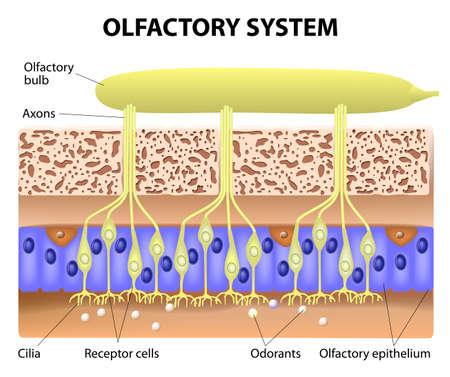 sistema olfativo dentro de la cabeza humana