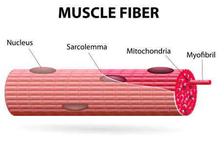 骨格筋細胞は管状彼らは多数の細胞核骨格筋横紋です、それは光と明暗のバンドの交互のパターン  イラスト・ベクター素材