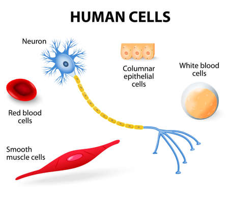 Anatomy of human cells  neuron, red and white blood cell, columnar epithelial cells and smooth muscle cells   vector illustration