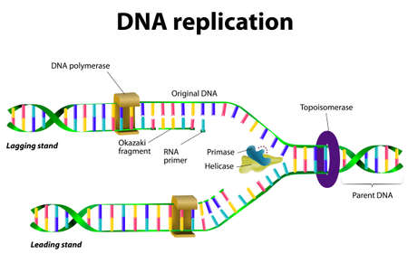 DNA の複製。ベクトル 写真素材 - 29474221