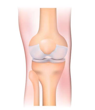 patella: human anatomy. knee joint on a white background