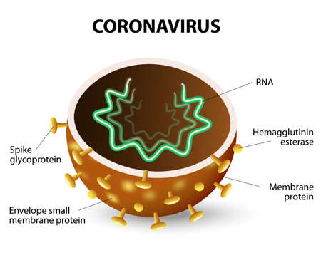 inside of a Corona Virus. Corona Virus is a strain of virus that causes a of illness in Humans, from the common cold to SARS.  イラスト・ベクター素材