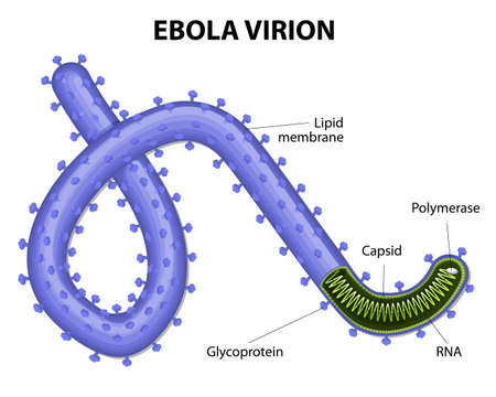 viral: structure of a virion ebolavirus. virus ebola or hemorrhagic fever is a cause a severe and often fatal disease of humans. EVD or EHF.