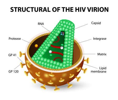 El virus de la inmunodeficiencia humana o VIH. Anatomía del virión SIDA. Diagrama vectorial