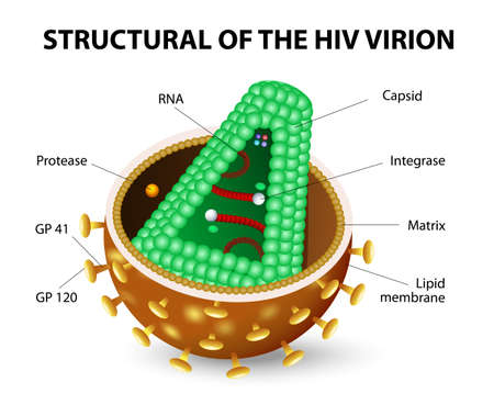 aids virus: The human immunodeficiency virus or HIV. Anatomy of the AIDS virion. Vector diagram