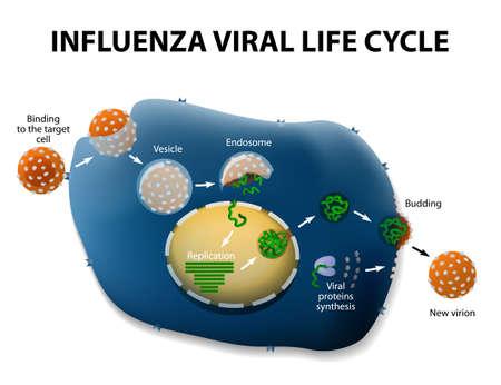Influenza Virus Replication Cycle. Schematische weergave. Stock Illustratie