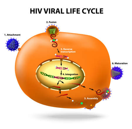HIV viral life cycle.  Illustration