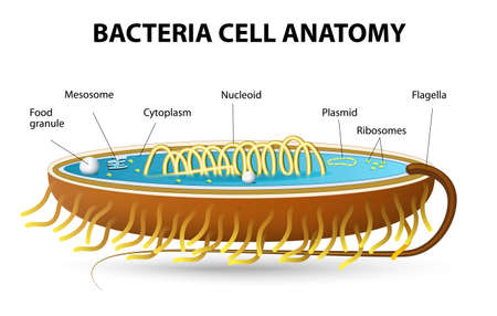 Structure of Bacterial Cell. Vector