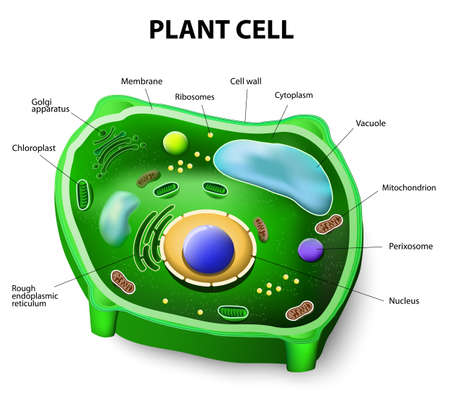 Plant cell structure. Vector diagram