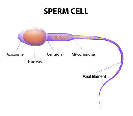 sex cell: Human Sperm cell Anatomy Illustration
