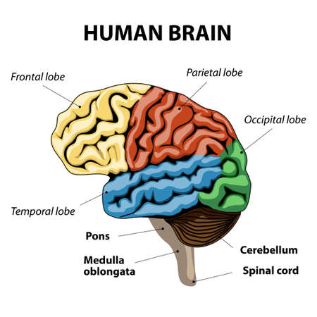 frontal lobe: human brain sections. vector illustration Illustration