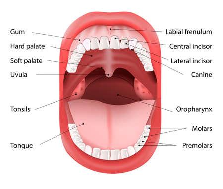 인간의 입의 일부. 오픈 입과 흰색 건강한 치아. 벡터 다이어그램, 설명과 함께.