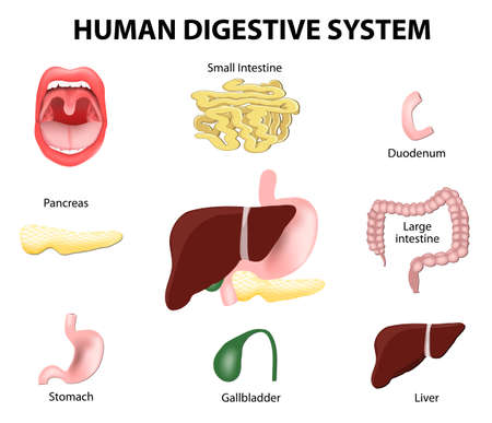 Human anatomy. Gastrointestinal tract or Digestive System.