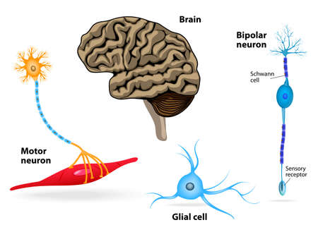 motor neuron: Nervous system. Human anatomy. Brain, motor neuron, glial and Schwann cell, sensory receptor and bipolar neuron. Illustration