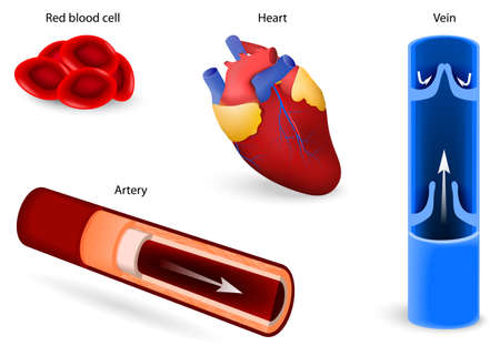 Human anatomy. Elements of the circulatory system: red blood cell or erythrocytes, heart, vein and artery. cardiovascular system. Set icons Vector