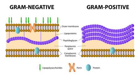 Bacteriën. Verschil van Gram-positieve van Gram-negatieve bacteriën.