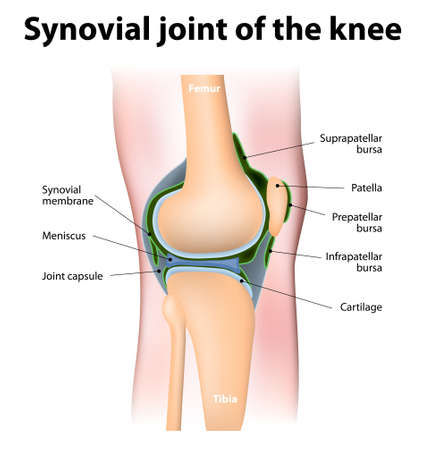 Synovial bursa of the human knee. Synovial bursa is  a sac filled with lubricating fluid, located between tissues such as  bone, muscle, tendons, and skin, that decreases rubbing. Stock Illustratie