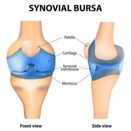 patella: Synovial Joint. Human anatomy.