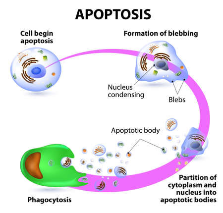 Apoptosis is the process of programmed cell death. Vector diagram