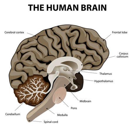 sistema nervioso central: Sección vertical de un cerebro humano. que muestra el bulbo raquídeo, la protuberancia, el cerebelo, el hipotálamo, el tálamo, mesencéfalo.